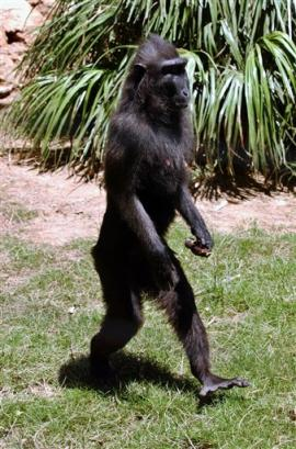 Natasha A 5 Year Old Black Macaque Walks At The Safari Park Near Tel Aviv Tuesday July 20 2004 Young Monkey Began Recently Walking Exclusively On Her